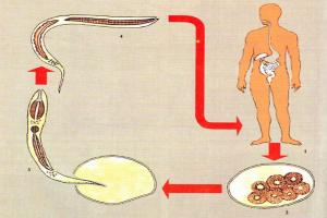 zhiznennui-cikl-ankilostom1